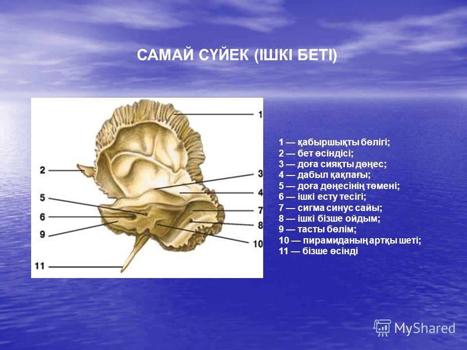 1 қабыршықты бөлігі; 2 бет өсіндісі; 3 доға сияқты дөңес; 4 дабыл қақпағы; 5 доға дөңесінің төмені; 6 ішкі есту тесігі; 7 сигма синус сайы; 8 ішкі бізше ойдым; 9 тасты бөлім; 10 пирамиданың артқы шеті; 11 бізше өсінді САМАЙ СҮЙЕК (ІШКІ БЕТІ)