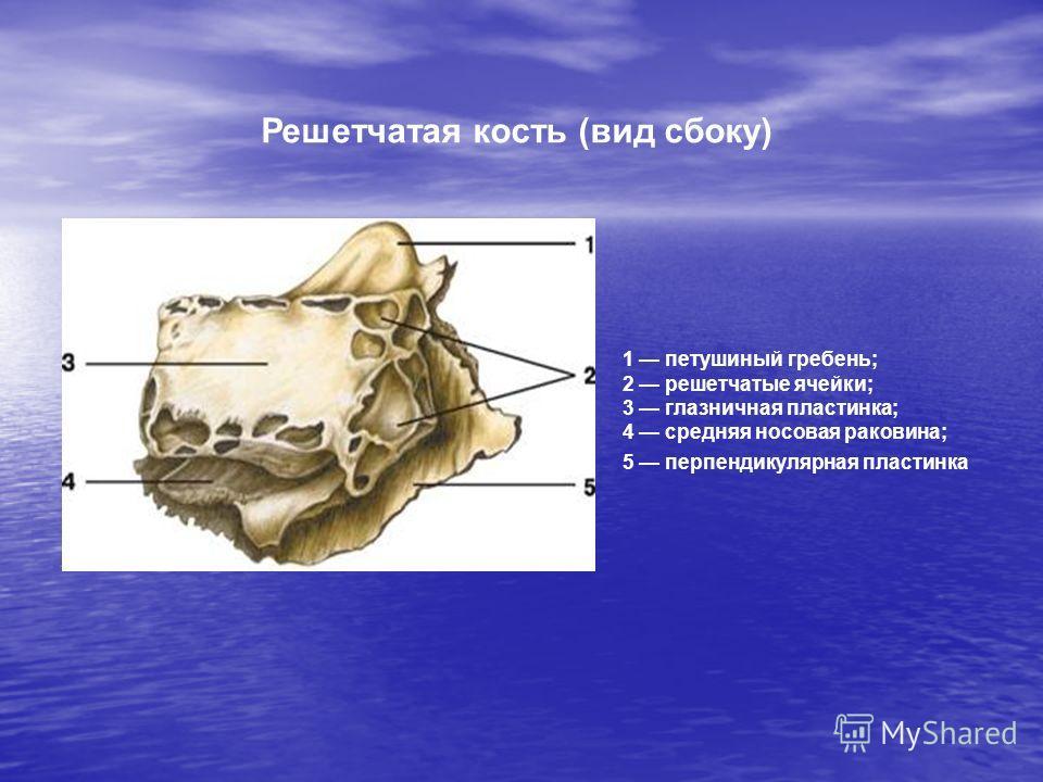 1 петушиный гребень; 2 решетчатые ячейки; 3 глазничная пластинка; 4 средняя носовая раковина; 5 перпендикулярная пластинка Решетчатая кость (вид сбоку)