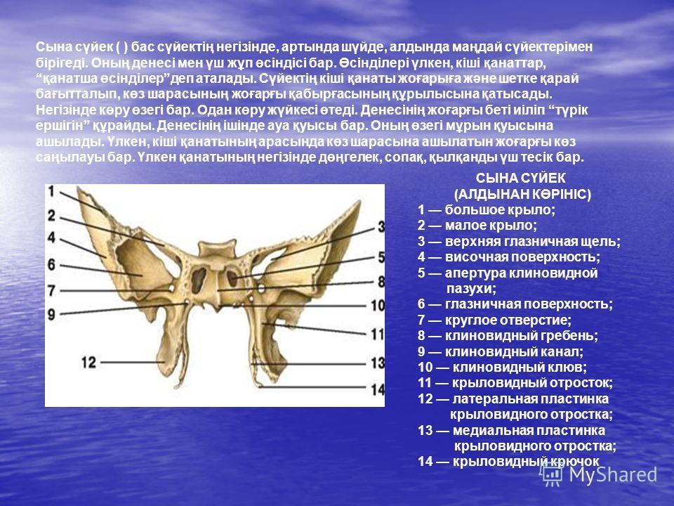 СЫНА СҮЙЕК (АЛДЫНАН КӨРІНІС) 1 большое крыло; 2 малое крыло; 3 верхняя глазничная щель; 4 височная поверхность; 5 апертура клиновидной пазухи; 6 глазничная поверхность; 7 круглое отверстие; 8 клиновидный гребень; 9 клиновидный канал; 10 клиновидный к