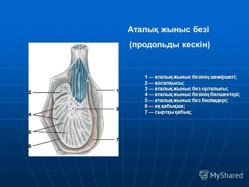1 аталық жыныс безінің шеміршегі; 2 қосалқысы; 3 аталық жыныс без орталығы; 4 аталық жыныс безінің бөлшектері; 5 аталық жыныс без бөлімдері; 6 ақ қабықша; 7 сыртқы қабық; Аталық жыныс безі (продольды кескін)