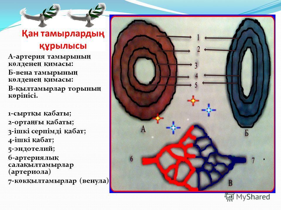 Қан тамырлардың құрылысы А-артерия тамырыны ң к ө лдене ң қ имасы: Б-вена тамырыны ң к ө лдене ң қ имасы: В- қ ылтамырлар торыны ң к ө рінісі. 1-сырт қ ы қ абаты; 2-орта ңғ ы қ абаты; 3-ішкі серпімді қ абат; 4-ішкі қ абат; 5-эндотелий; 6-артериялы қ