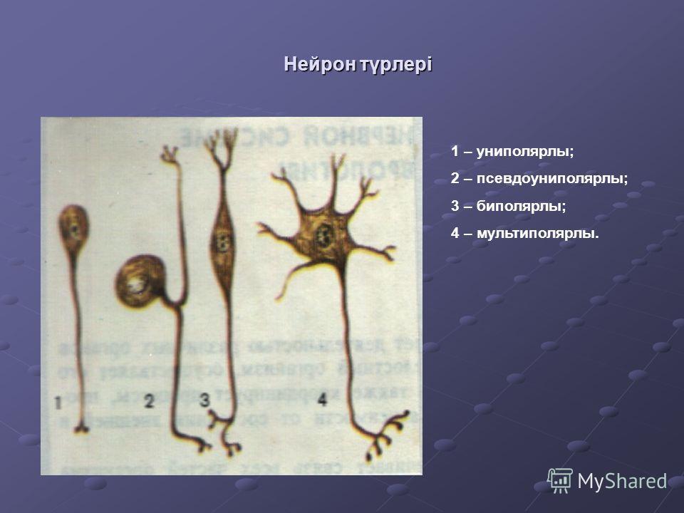 Нейрон түрлері 1 – униполярлы; 2 – псевдоуниполярлы; 3 – биполярлы; 4 – мультиполярлы.