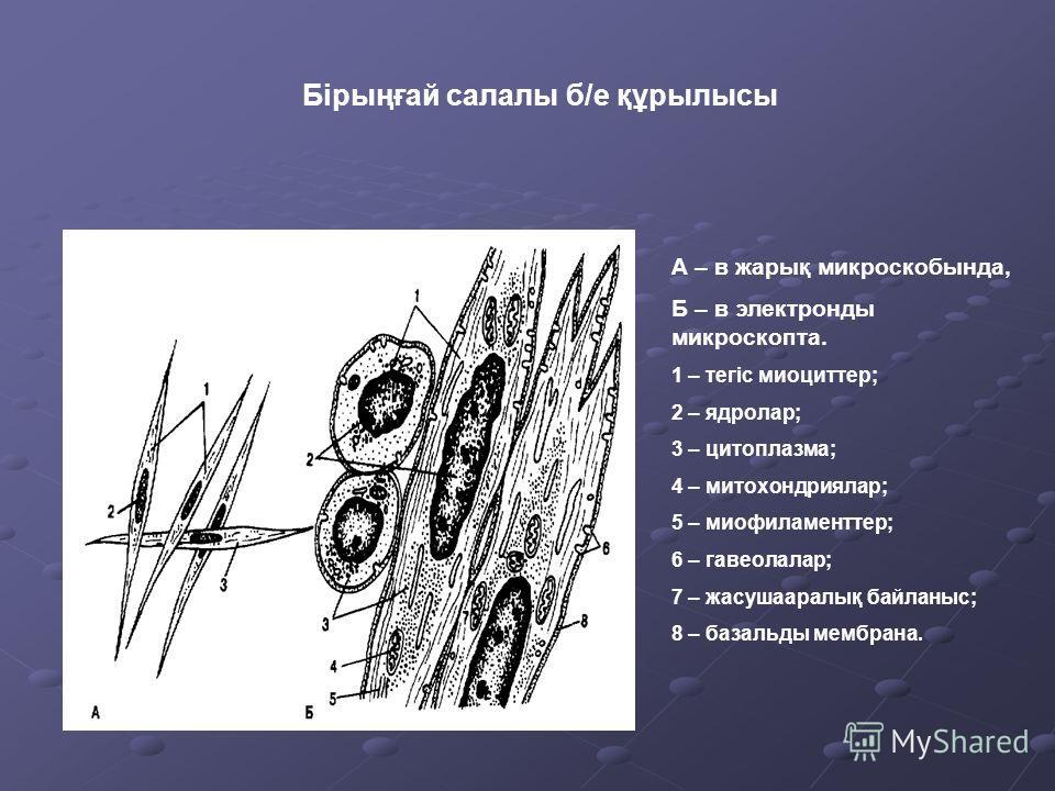 Бірыңғай салалы б/е құрылысы А – в жарық микроскобында, Б – в электронды микроскопта. 1 – тегіс миоциттер; 2 – ядролар; 3 – цитоплазма; 4 – митохондриялар; 5 – миофиламенттер; 6 – гавеолалар; 7 – жасушааралық байланыс; 8 – базальды мембрана.