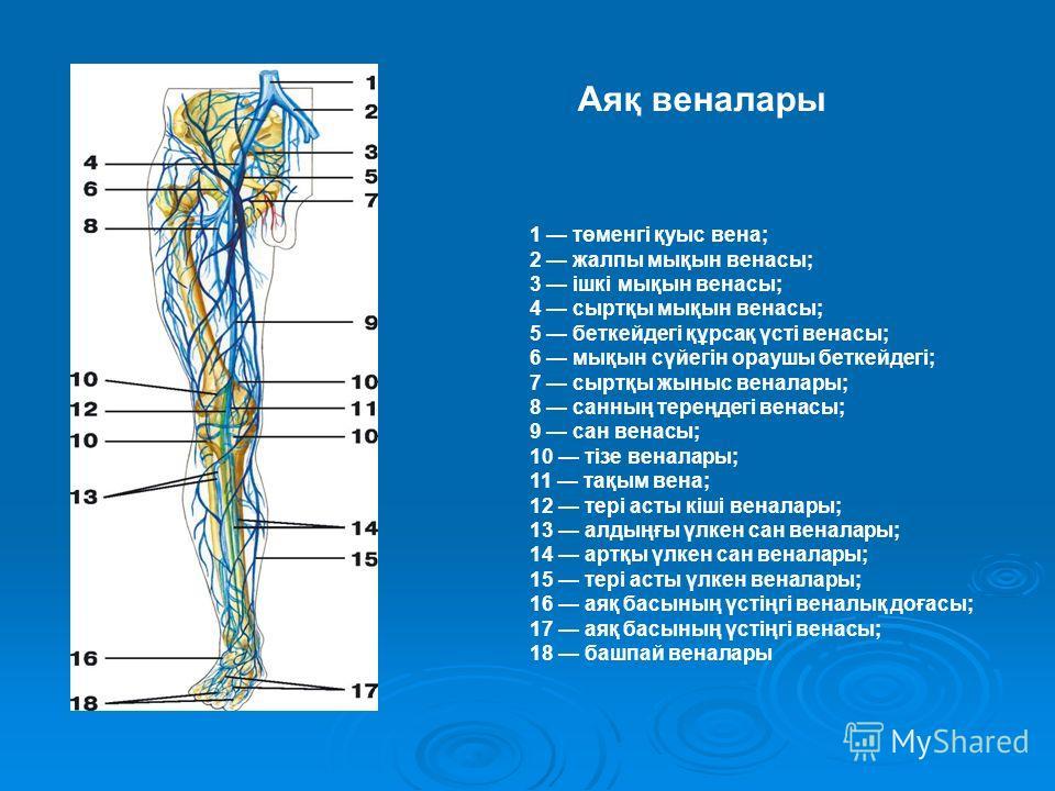 1 төменгі қуыс вена; 2 жалпы мықын венасы; 3 ішкі мықын венасы; 4 сыртқы мықын венасы; 5 беткейдегі құрсақ үсті венасы; 6 мықын сүйегін ораушы беткейдегі; 7 сыртқы жыныс веналары; 8 санның тереңдегі венасы; 9 сан венасы; 10 тізе веналары; 11 тақым ве