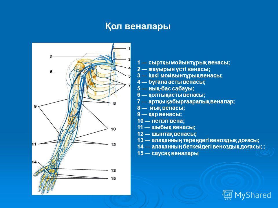 1 сыртқы мойынтұрық венасы; 2 жауырын үсті венасы; 3 ішкі мойвынтұрық венасы; 4 бұғана асты венасы; 5 иық-бас сабауы; 6 қолтықасты венасы; 7 артқы қабырғааралық веналар; 8 иық венасы; 9 қар венасы; 10 негізгі вена; 11 шыбық венасы; 12 шынтақ венасы;