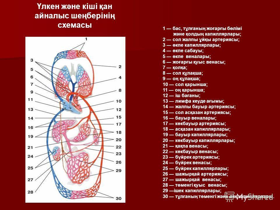 1 бас, тұлғаның жоғарғы бөлімі және қолдың капиллярлары; 2 сол жалпы ұйқы артериясы; 3 өкпе капиллярлары; 4 өкпе сабауы; 5 өкпе веналары; 6 жоғарғы қуыс венасы; 7 қолқа; 8 сол құлақша; 9 оң құлақша; 10 сол қарынша; 11 оң қарынша; 12 іш бағаны; 13 лим