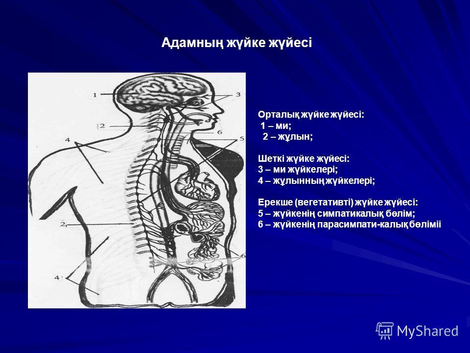 Орталық жүйке жүйесі: 1 – ми; 2 – жұлын; Шеткі жүйке жүйесі: 3 – ми жүйкелері; 4 – жұлынның жүйкелері; Ерекше (вегетативті) жүйке жүйесі: 5 – жүйкенің симпатикалық бөлім; 6 – жүйкенің парасимпати-калық бөліміі Адамның жүйке жүйесі