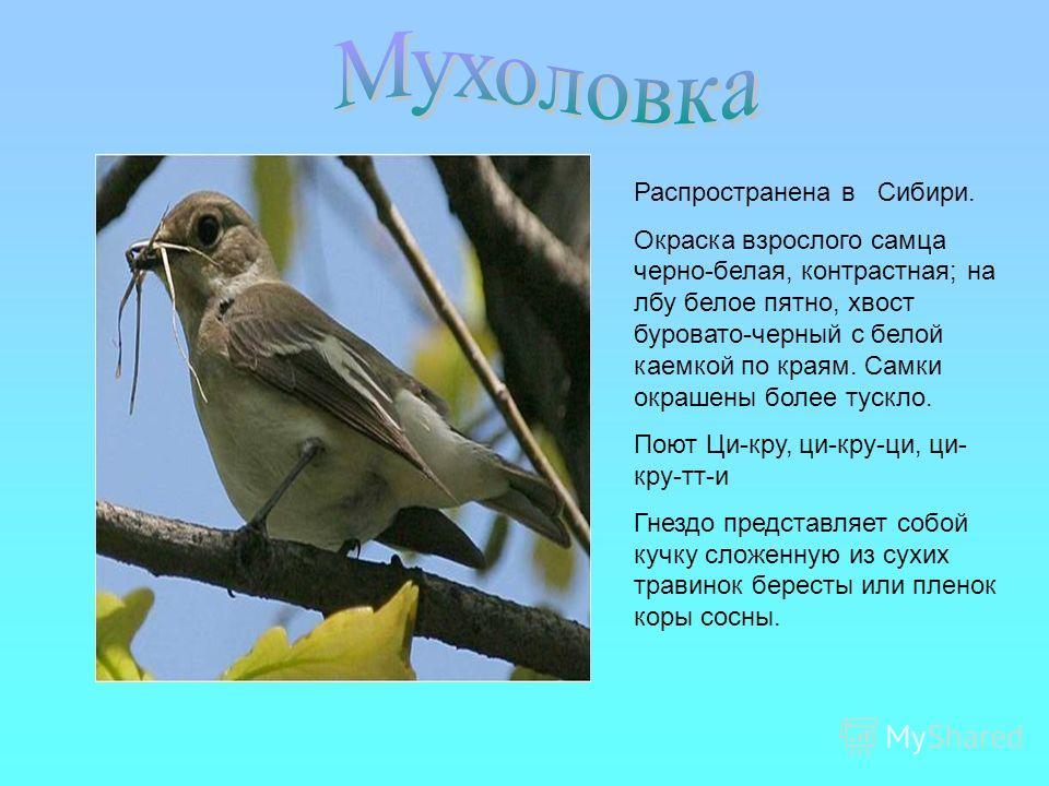Распространена в Сибири. Окраска взрослого самца черно-белая, контрастная; на лбу белое пятно, хвост буровато-черный с белой каемкой по краям. Самки окрашены более тускло. Поют Ци-кру, ци-кру-ци, ци- кру-тт-и Гнездо представляет собой кучку сложенную