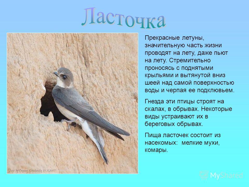 Прекрасные летуны, значительную часть жизни проводят на лету, даже пьют на лету. Стремительно проносясь с поднятыми крыльями и вытянутой вниз шеей над самой поверхностью воды и черпая ее подклювьем. Гнезда эти птицы строят на скалах, в обрывах. Некот