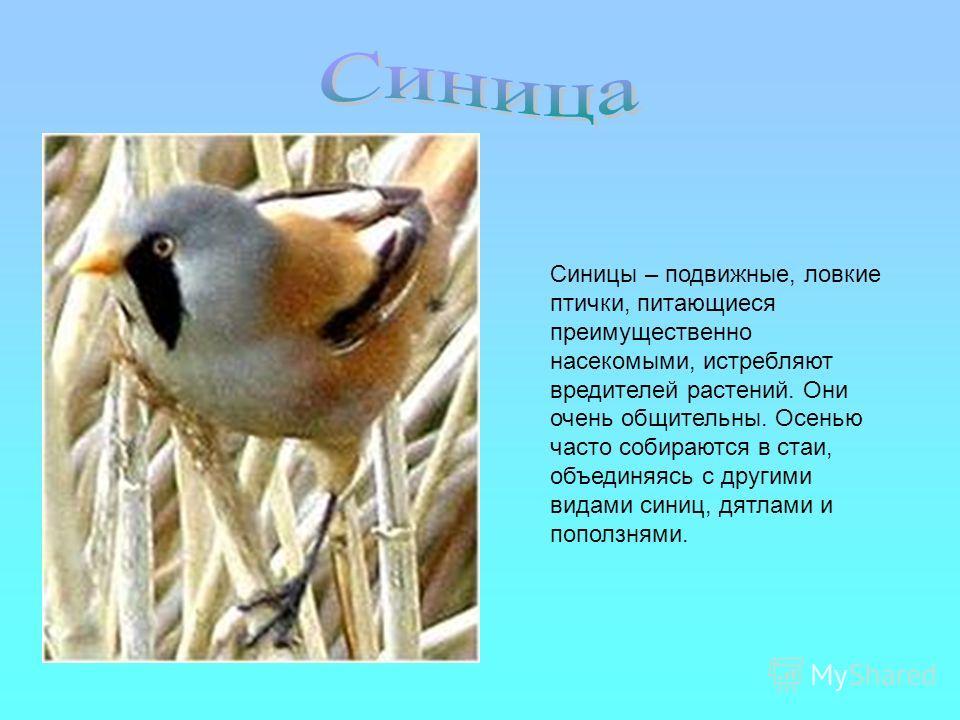Синицы – подвижные, ловкие птички, питающиеся преимущественно насекомыми, истребляют вредителей растений. Они очень общительны. Осенью часто собираются в стаи, объединяясь с другими видами синиц, дятлами и поползнями.