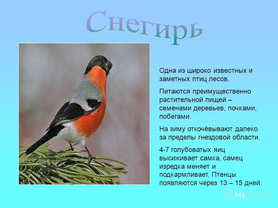 Одна из широко известных и заметных птиц лесов. Питаются преимущественно растительной пищей – семенами деревьев, почками, побегами. На зиму откочёвывают далеко за пределы гнездовой области. 4-7 голубоватых яиц высиживает самка, самец изредка меняет и