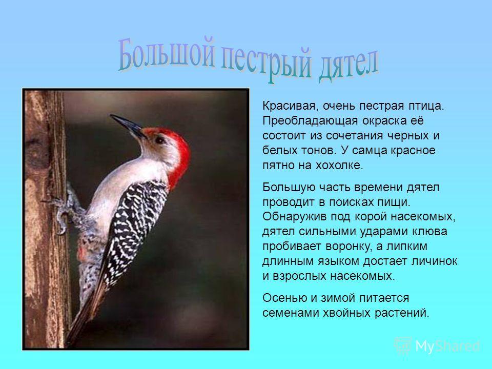 Красивая, очень пестрая птица. Преобладающая окраска её состоит из сочетания черных и белых тонов. У самца красное пятно на хохолке. Большую часть времени дятел проводит в поисках пищи. Обнаружив под корой насекомых, дятел сильными ударами клюва проб