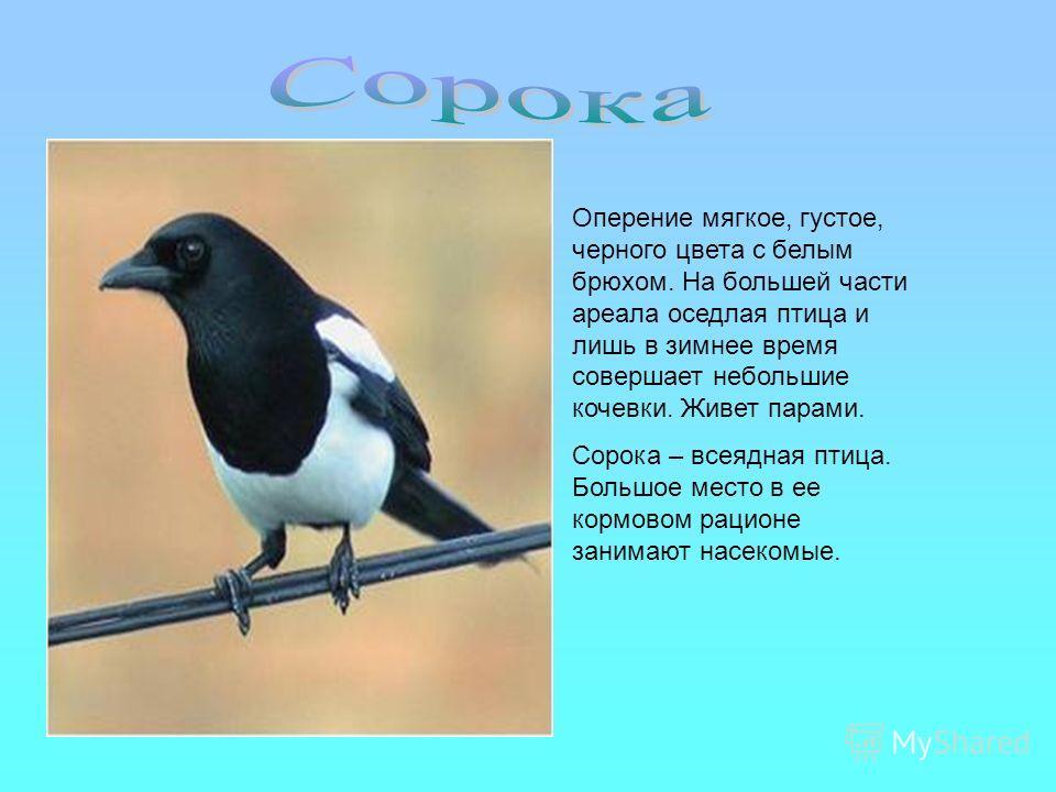 Оперение мягкое, густое, черного цвета с белым брюхом. На большей части ареала оседлая птица и лишь в зимнее время совершает небольшие кочевки. Живет парами. Сорока – всеядная птица. Большое место в ее кормовом рационе занимают насекомые.