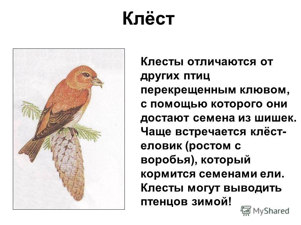 Клёст Клесты отличаются от других птиц перекрещенным клювом, с помощью которого они достают семена из шишек. Чаще встречается клёст- еловик (ростом с воробья), который кормится семенами ели. Клесты могут выводить птенцов зимой!