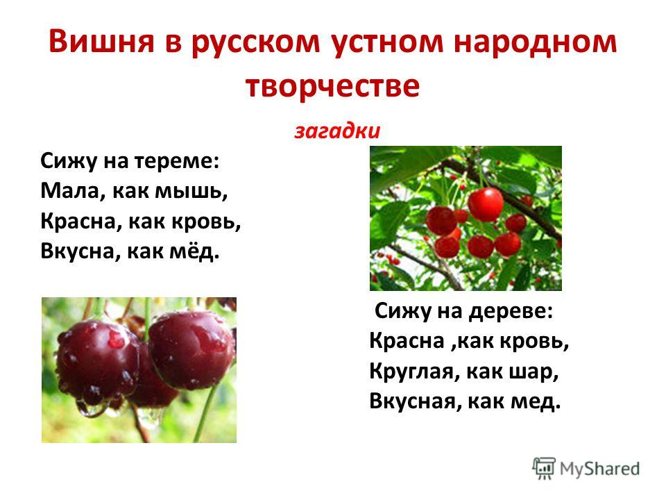 Вишня в русском устном народном творчестве загадки Сижу на тереме: Мала, как мышь, Красна, как кровь, Вкусна, как мёд. Сижу на дереве: Красна,как кровь, Круглая, как шар, Вкусная, как мед.