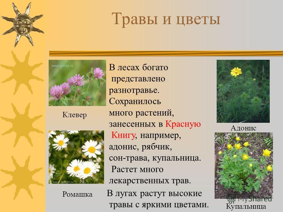 Травы и цветы В лесах богато представлено разнотравье. Сохранилось много растений, занесенных в Красную Книгу, например, адонис, рябчик, сон-трава, купальница. Растет много лекарственных трав. Клевер Ромашка Адонис Купальница В лугах растут высокие т