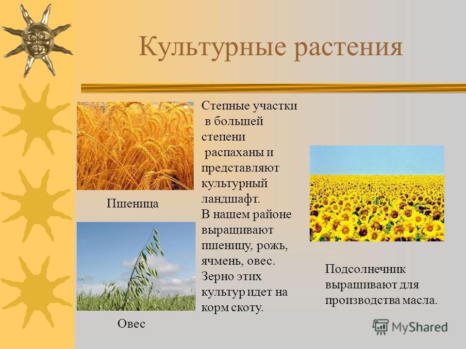Культурные растения Пшеница Овес Степные участки в большей степени распаханы и представляют культурный ландшафт. В нашем районе выращивают пшеницу, рожь, ячмень, овес. Зерно этих культур идет на корм скоту. Подсолнечник выращивают для производства ма