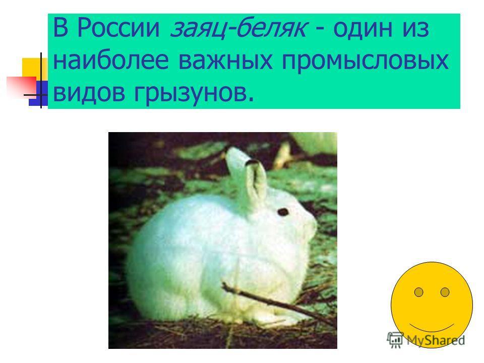 В России заяц-беляк - один из наиболее важных промысловых видов грызунов.