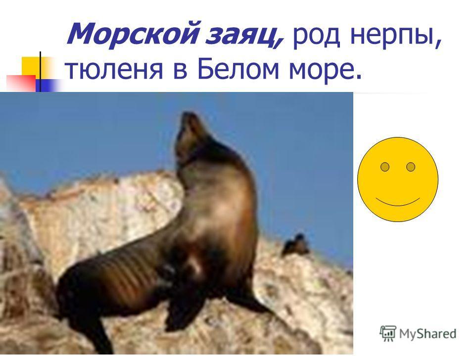 Морской заяц, род нерпы, тюленя в Белом море.