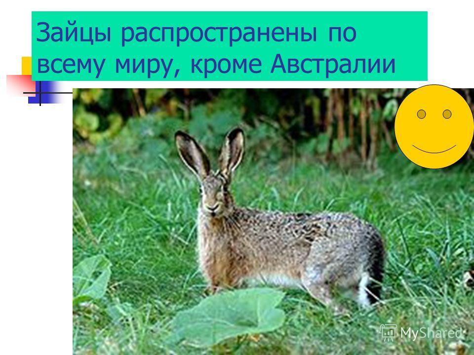 Зайцы распространены по всему миру, кроме Австралии