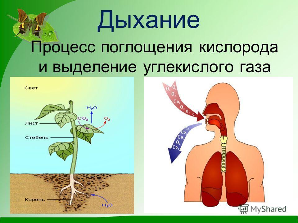 Дыхание Процесс поглощения кислорода и выделение углекислого газа