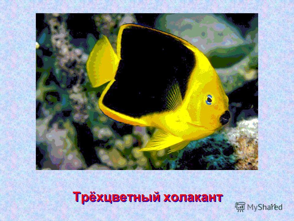 11 Трёхцветный холакант