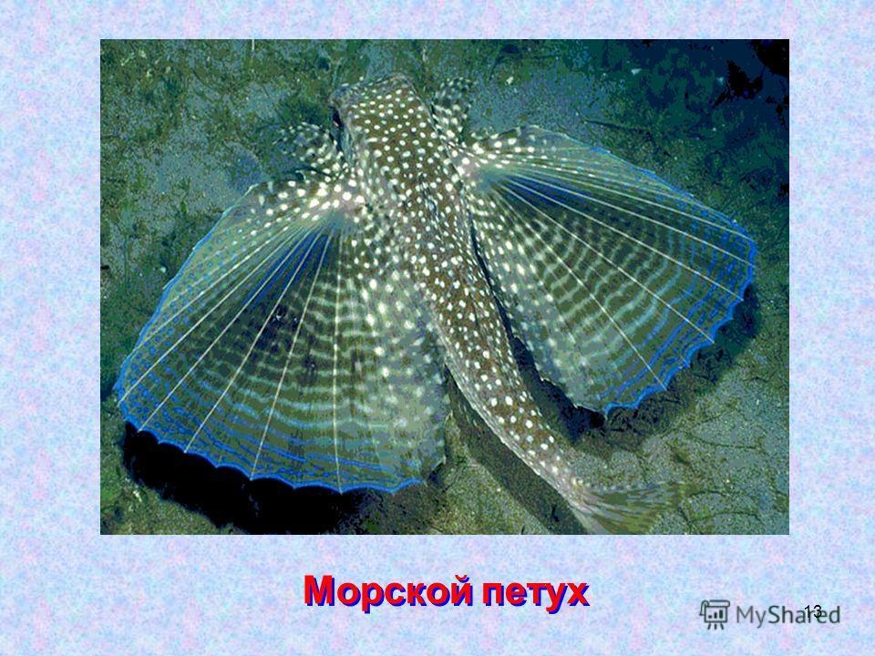 13 Морской петух