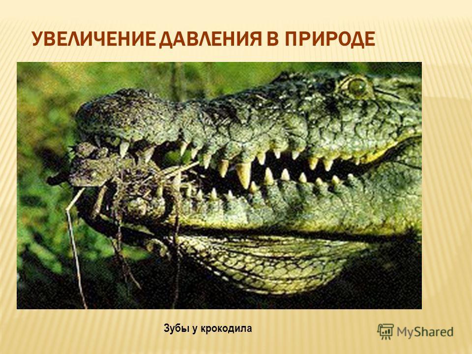 УВЕЛИЧЕНИЕ ДАВЛЕНИЯ В ПРИРОДЕ Коготь животного