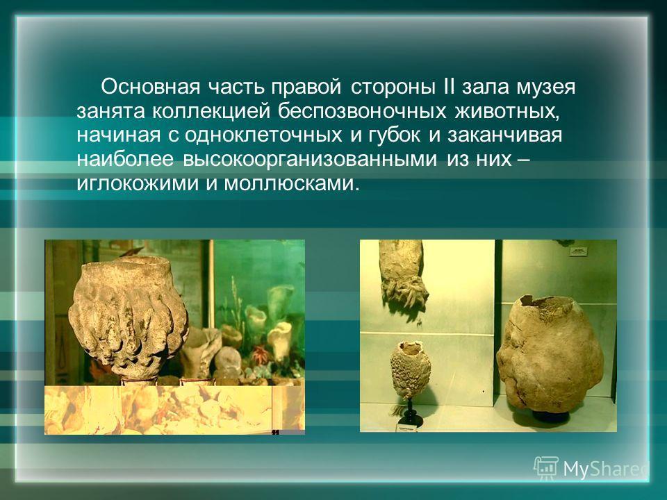 Основная часть правой стороны II зала музея занята коллекцией беспозвоночных животных, начиная с одноклеточных и губок и заканчивая наиболее высокоорганизованными из них – иглокожими и моллюсками.