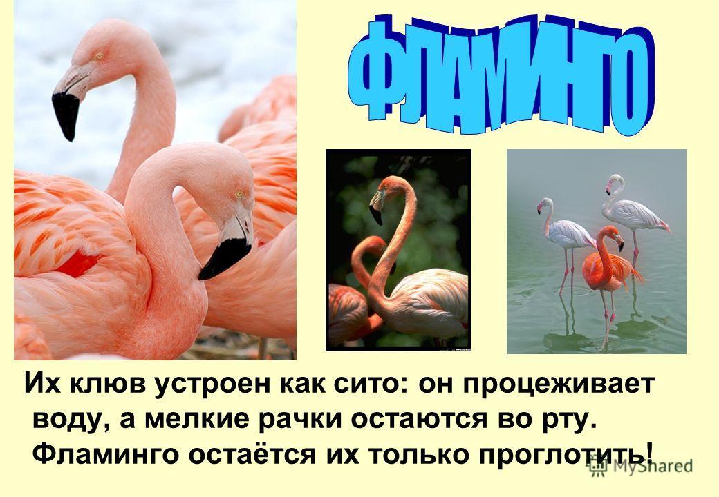 Их клюв устроен как сито: он процеживает воду, а мелкие рачки остаются во рту. Фламинго остаётся их только проглотить!