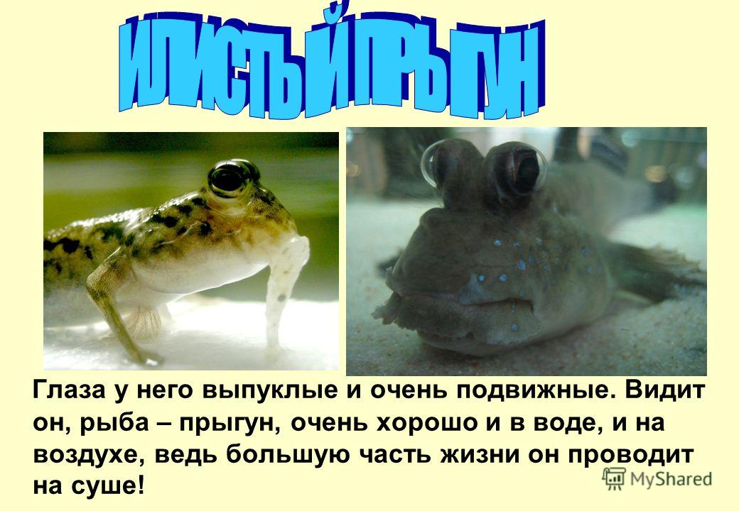 Глаза у него выпуклые и очень подвижные. Видит он, рыба – прыгун, очень хорошо и в воде, и на воздухе, ведь большую часть жизни он проводит на суше!