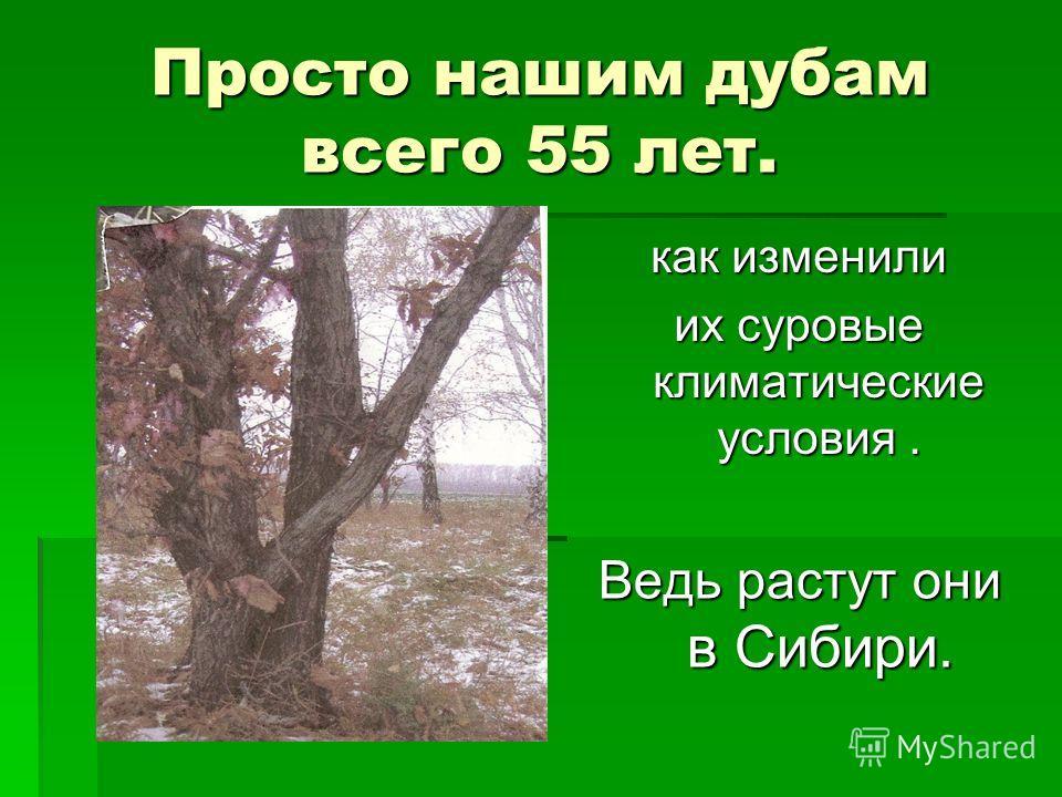 Просто нашим дубам всего 55 лет. как изменили их суровые климатические условия. Ведь растут они в Сибири.