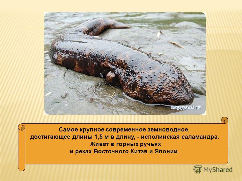 Самое крупное современное земноводное, достигающее длины 1,5 м в длину, - исполинская саламандра. Живет в горных ручьях и реках Восточного Китая и Японии.
