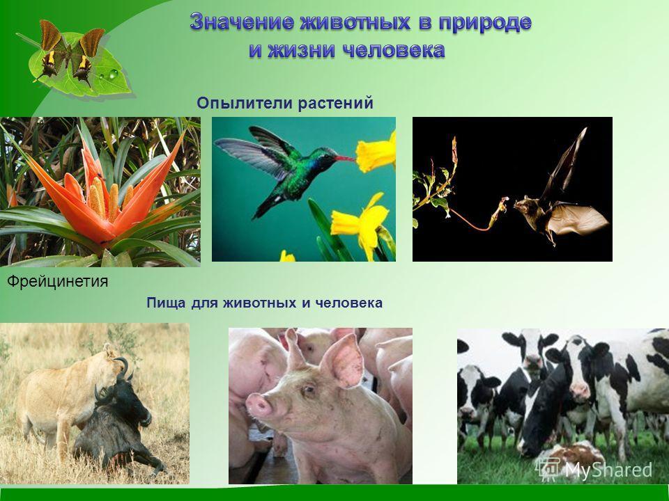 Опылители растений Фрейцинетия Пища для животных и человека