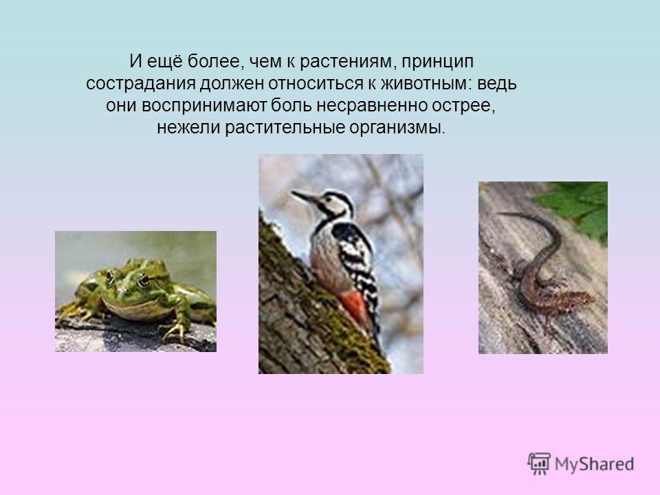 И ещё более, чем к растениям, принцип сострадания должен относиться к животным: ведь они воспринимают боль несравненно острее, нежели растительные организмы.