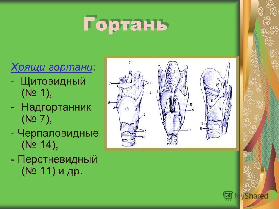 10 Гортань Хрящи гортани: - Щитовидный ( 1), -Надгортанник ( 7), - Черпаловидные ( 14), - Перстневидный ( 11) и др.