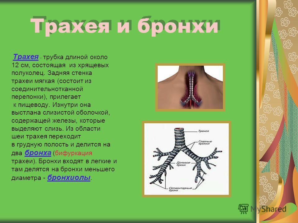 11 Трахея и бронхи Трахея - трубка длиной около 12 см, состоящая из хрящевых полуколец. Задняя стенка трахеи мягкая (состоит из соединительнотканной перепонки), прилегает к пищеводу. Изнутри она выстлана слизистой оболочкой, содержащей железы, которы