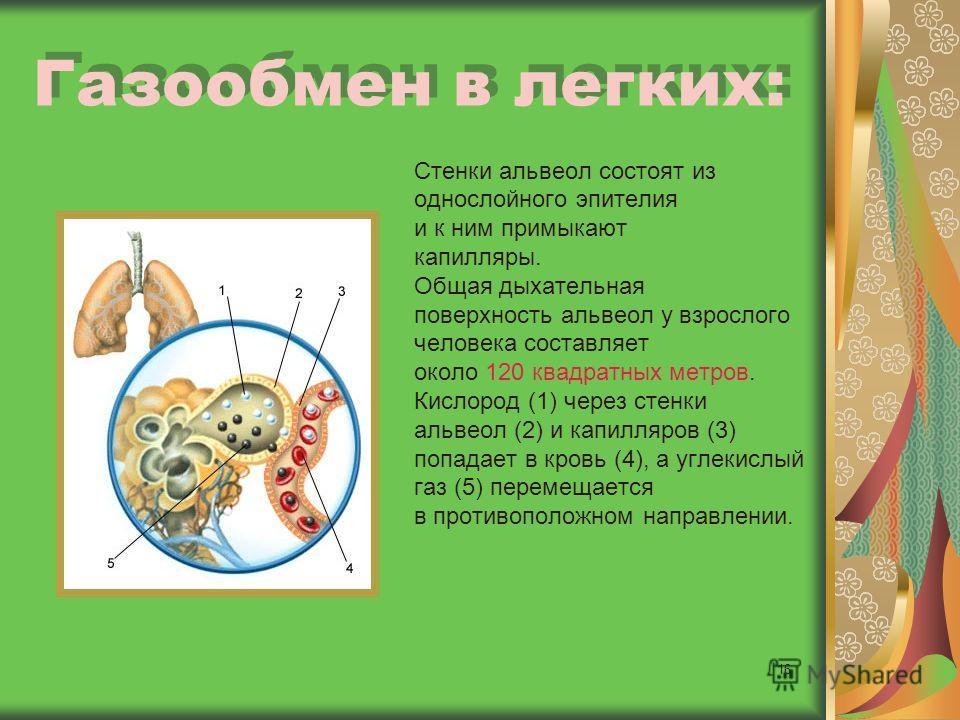 16 Газообмен в легких: Стенки альвеол состоят из однослойного эпителия и к ним примыкают капилляры. Общая дыхательная поверхность альвеол у взрослого человека составляет около 120 квадратных метров. Кислород (1) через стенки альвеол (2) и капилляров