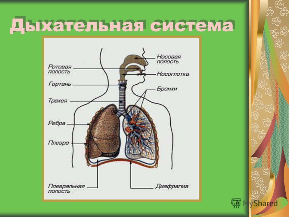8 Дыхательная система