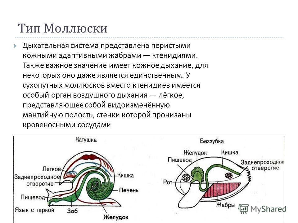 Тип Моллюски Дыхательная система представлена перистыми кожными адаптивными жабрами ктенидиями. Также важное значение имеет кожное дыхание, для некоторых оно даже является единственным. У сухопутных моллюсков вместо ктенидиев имеется особый орган воз