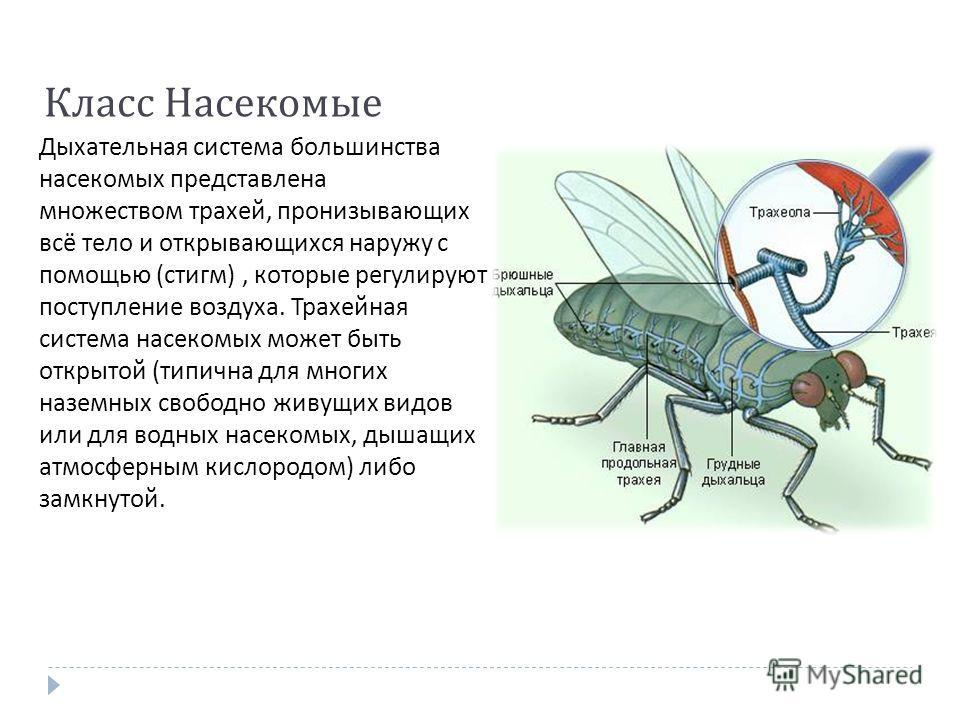 Класс Насекомые Дыхательная система большинства насекомых представлена множеством трахей, пронизывающих всё тело и открывающихся наружу с помощью ( стигм ), которые регулируют поступление воздуха. Трахейная система насекомых может быть открытой ( тип
