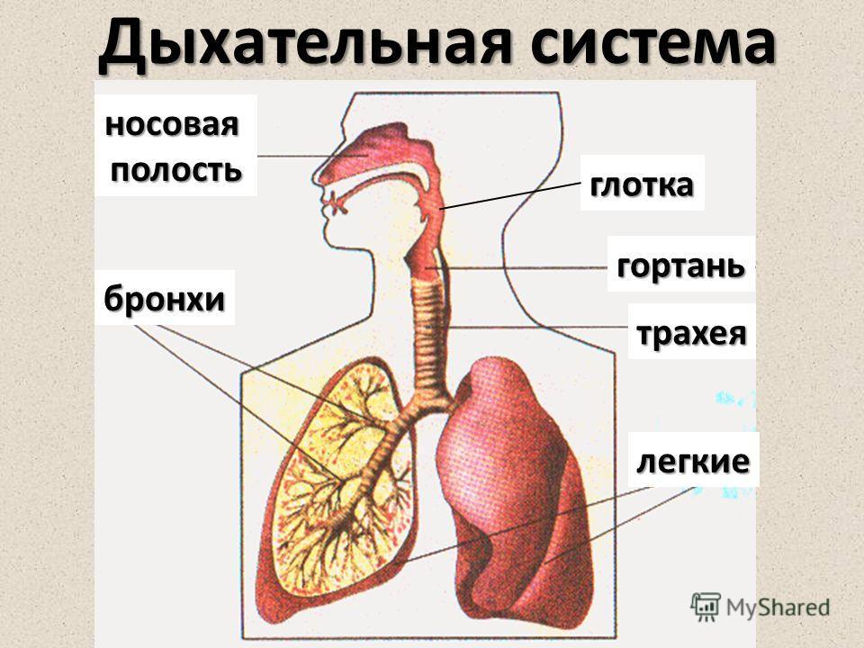 носоваяполость бронхи трахея глотка легкие Дыхательная система гортань