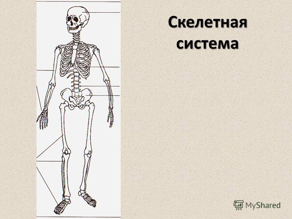 Скелетнаясистема