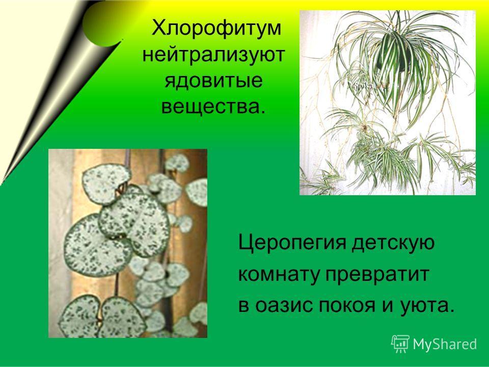 Хлорофитум нейтрализуют ядовитые вещества. Церопегия детскую комнату превратит в оазис покоя и уюта.