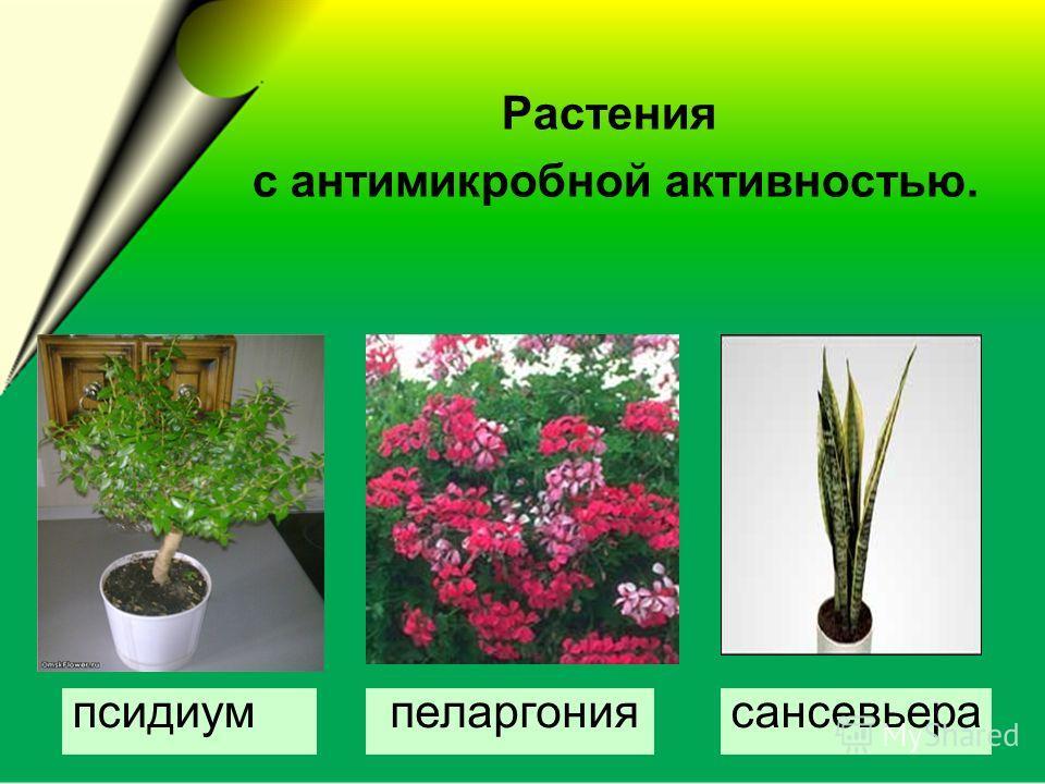 сансевьера пеларгония Растения с антимикробной активностью. псидиум