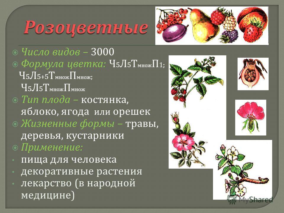 Число видов – 3000 Формула цветка : Ч 5 Л 5 Т множ П 1; Ч 5 Л 5+5 Т множ П множ ; Ч 5 Л 5 Т множ П множ Тип плода – костянка, яблоко, ягода или орешек Жизненные формы – травы, деревья, кустарники Применение : пища для человека декоративные растения л