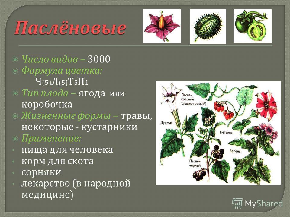 Число видов – 3000 Формула цветка : Ч (5) Л (5) Т 5 П 1 Тип плода – ягода или коробочка Жизненные формы – травы, некоторые - кустарники Применение : пища для человека корм для скота сорняки лекарство ( в народной медицине )