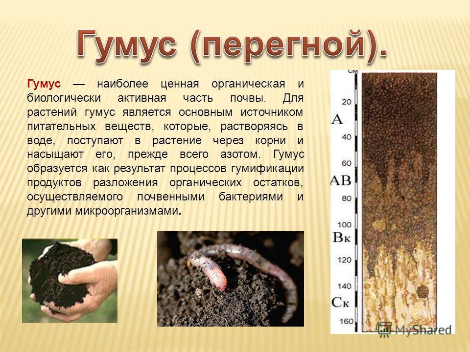 Гумус наиболее ценная органическая и биологически активная часть почвы. Для растений гумус является основным источником питательных веществ, которые, растворяясь в воде, поступают в растение через корни и насыщают его, прежде всего азотом. Гумус обра