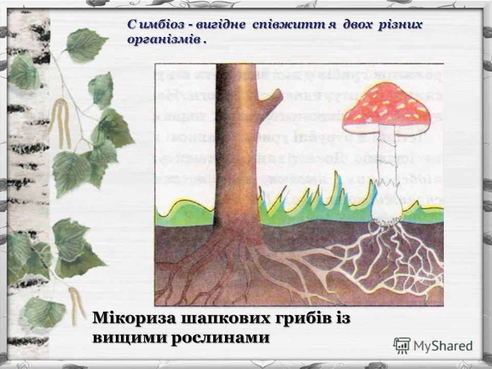 Мікориза шапкових грибів із вищими рослинами С имбіоз - вигідне співжитт я двох різних організмів.