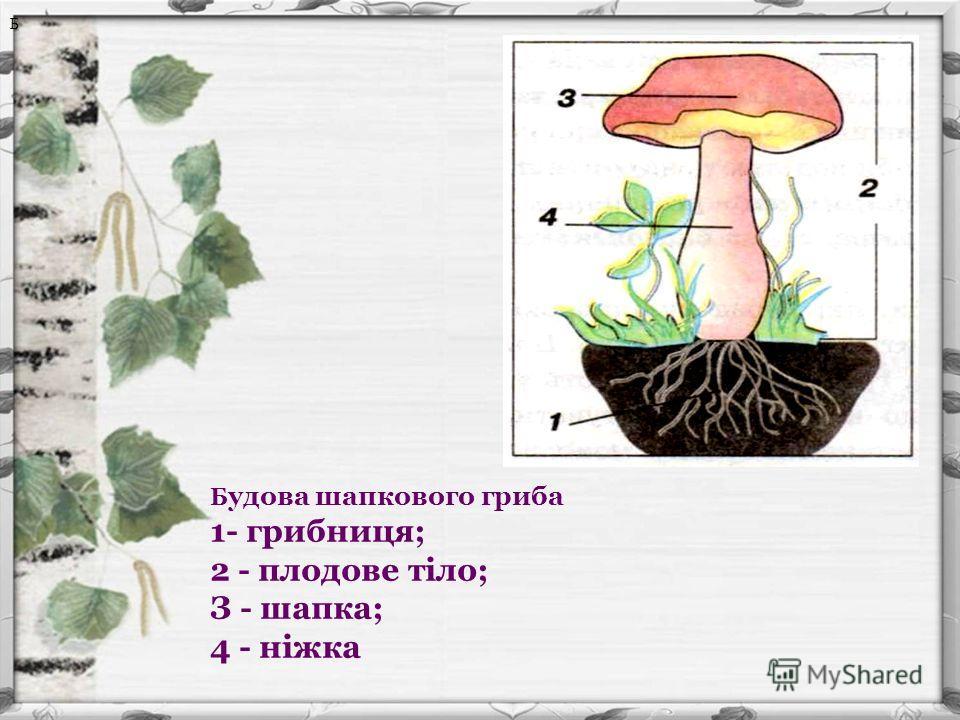 Б Б удова шапкового гриба 1- грибниця; 2 - плодове тіло; З - шапка; 4 - ніжка